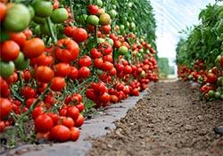 Paradajz pire (Koncentrat paradajza)